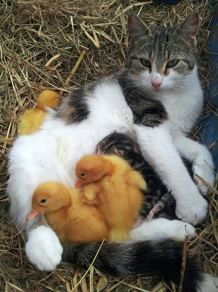 Cat adopts ducklings